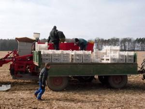 Mausbeck_Kartoffelpflanzung_4