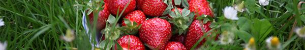 Erdbeeren – fruchtig frisch und gesund!