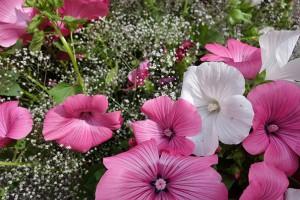 Wunderschöne Malven, das Schleierkraut setzt zwischen den Blüten schöne Akzente im Strauß