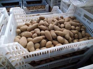 Mausbeck_Kartoffelpflanzung_1